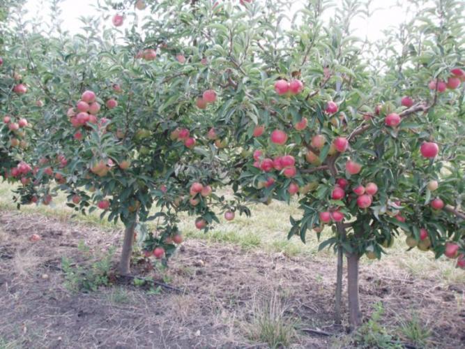 Florina rose фото