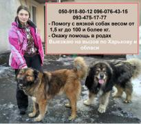 Professional instructor of mating dogs in Kharkiv
