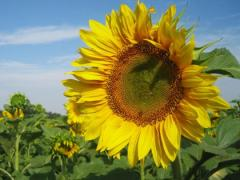 Seed of sunflower hybrid under the Euro-lightning