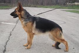 Selling puppies German shepherd dogs in Krasnodar