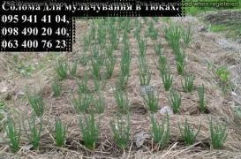 Солома для мульчирования растений в квадратных тюках
